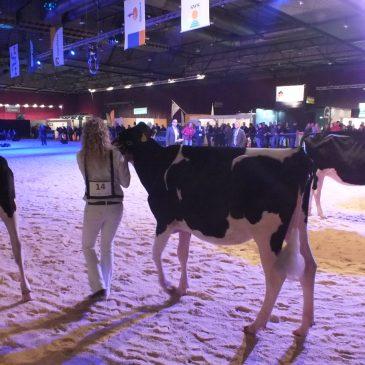 Concurrentie te sterk voor Hullcrest Holstein pinken