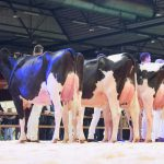 Honorable mention voor O'Kadabra op Holland Holstein sHow